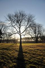 morning's tree (christiaan_25) Tags: morning november blue shadow sky sun cold tree green sunshine silhouette project glow bright sunny explore photoaday flare 87 mortonarboretum treesdiestandingup fmsphotoaday nov272012
