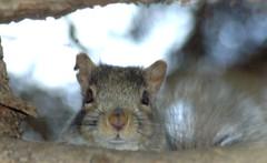 Peek a boo from Torn Ear (makeupanid) Tags: toronto tree closeup squirrel branch highpark bokeh easterngreysquirrel hbw bokehwednesday