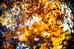 Finale (moaan) Tags: life leica color digital 50mm glow dof bokeh f10 momiji japanesemaple kobe utata glowing swirl noctilux dairy tinted 2012 m9  tinged colorsofautumn autumnaltints inlife leicanoctilux50mmf10 leicam9  futatabipark swirlingautumn autumndairy