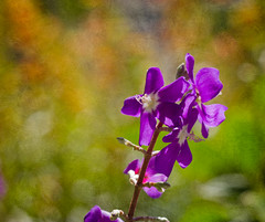 Purple Flowers (Explore 12/02/12) (Bob Decker) Tags: