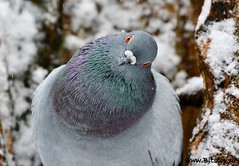 What are You Lookin' at? (Karen_Chappell) Tags: green bird nature newfoundland grey pigeon