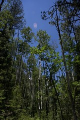 Trees In Pretty Canyon (Reptilian_Sandwich) Tags: blue wild summer plants mountains newmexico green leaves forest walking outdoors oak solitude solidarity aspen hillside slope conifer afternoonlight blackrange prettycanyon