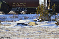 La Chase - Bear hears snow machine and decides discretion is the better part of valor (V. C. Wald) Tags: manitoba polarbear churchillmb