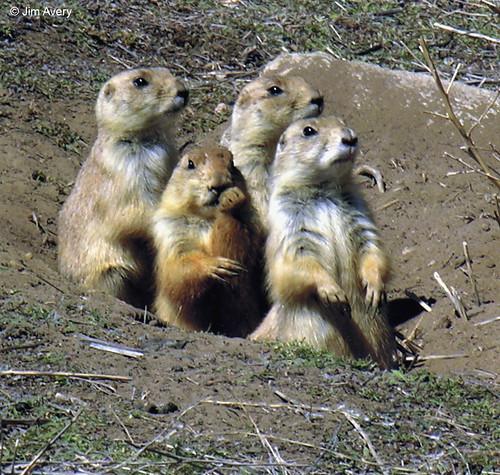 Photo - Prairie Dogs