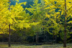 Ginko trees (Dennis Wong) Tags: china leica autumn tree green fall leave nature yellow forest canon landscape gold golden leaf 5d ginko jiangxi ganzhou leitz canoneos5dmarkiii leica70210mmf4