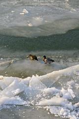 Ducks on ice! (RodaLarga) Tags: france ice lumix frozen lyon panasonic lx5