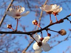 20120216_plum_flower_25 (caligula1995) Tags: 2012 plumtree plumflowers