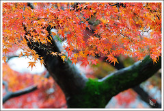 20121126_6569_ (Redhat/) Tags: autumn fall japan temple maple kyoto redhat              sinnyodo