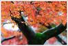 20121126_6569_京都之秋 (Redhat/小紅帽) Tags: autumn fall japan temple maple kyoto redhat 京都 夕陽 日本 紅葉 秋 夕日 楓葉 あき 秋天 楓紅 もみじ 真如堂 小紅帽 sinnyodo 秋雨 しんにょどう