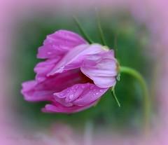 Stand In Faith ~~ ( ~ ~ Sharon ~~ ) Tags: pink flower love peace faith cosmos  blinkagain galleryoffantasticshots
