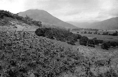 Banana and citrus orchard, Freshwater, Cairns District, c 1935 (Queensland State Archives) Tags: farming orchard banana queensland crops citrus agriculture freshwater 1935 queenslandstatearchives