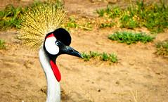 Ugandan crested crane