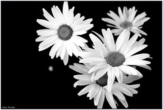 Black and White daisies (ailsatruckle) Tags: flowers bw white black nature daisies canon garden blackwhite hampshire wiltshire canon450d canoneos450d canoneosdigitalrebelxsi canoneosrebelxsi canondigitaleosrebelxsi