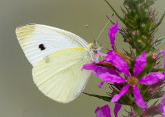 Cabbage White Butterfly (tresed47) Tags: 2016 201607jul 20160715chestercountymisc brandywinekardon butterflies cabbagewhite canon7d chestercounty content folder insects pennsylvania peterscamera petersphotos places takenby us white ngc