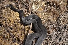 Melanistic Adder (Vipera berus) (Sky and Yak) Tags: reptile blackadder viper vipera berus snake herpetology dorset