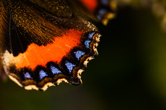 Butterfly wing (Ben Duursma) Tags: butterfly fly wing tip blue delicate orange vivid pollen insect nature wildlife garden macro photography 105mm small tortoiseshell hertfordshire ben duursma nikon d7000