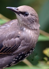 Starling (juv) (gillybooze) Tags: allrightsreserved bird starling birdwatcher bokeh outside