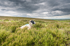 sheep everywhere (petespande) Tags: uk yorkshire united north kingdom 20mm yorkshiremoors nikond750 horcomshole