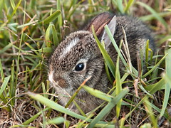 Baby Bunny 1 (08 13 2016) (PhotoDocGVSU) Tags: animal bunny rabbit baby cute nature canon5d3