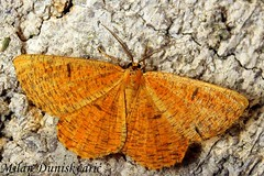 naranasti moljac, Pleivica (mdunisk) Tags: naranastimoljac angeronaprunaria ljivinmoljac lepidoptera geometridae mdunisk moljci leptir leptiri insekt kukac kukci kotari klake oki otrc rude braslovje bukovje cerje