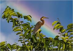 Rainbow Tricolor Juvy (billkominsky ) Tags: naturethroughthelens ngc