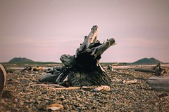 AAB_3590s (savillent) Tags: tuktoyaktuk nwt canada arctic north cllimate wildlife ocean beaufort sea sun beach water dewline savillent nikon photograhy landscape waterscape pingo geese august 2016