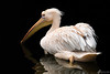 Lonely pelican (Benedikt Filip) Tags: deutschland see wasser pelikan tier natur lowkey hessen tierwelt schwarz teleobjektiv vogel zoo reflektion ausen schwarzerhintergrund tag alemania allemagne doitsu dégúo flügel germania germany hesse reflektionen spiegelung vögel abroad afield animal birds black character dark daylight drausen dunkel lake light masvoll nature outdoor outside pelican reflection reflections schwach telephotolens water wildlife wing wings ドイツ 德國德国