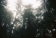 (jessicadesto) Tags: 35mm trees nature film grain redwoods muirwoods california bayarea