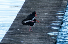 Mating season for this pair of Pied Oystercatchers (Merrillie) Tags: woywoy nature australia birds mating d5500 nswcentralcoast newsouthwales piedoystercatcher nsw wildlife centralcoastnsw textures wharf photography outdoor outdoors animals fauna centralcoast oystercatcher nikon