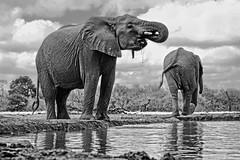 s AT Elephants at waterhole_DSC_7392 (Andrew JK Tan) Tags: 2016 safari elephants botswana mashatu waterhole drinking wildlife