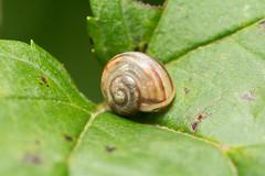 Snail (benevolentkira7) Tags: snail snails round pattern brown slime slimey slow cute very spiral leaf outdoor nature