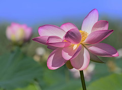 Nelumbo Nucifera (marypink) Tags: fiordiloto nelumbonucifera parcodelmincio summer estate flower laghidimantova details nikond500 nikkor80400mmf4556