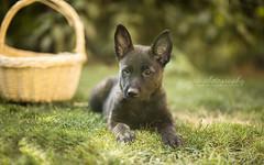 Austrian High Spirit (Dackelpuppy) Tags: hollandse herder dutch shepherd