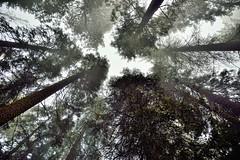 Sequoia and Evergreen Forest Explored (Sequoia National Park) (thor_mark ) Tags: nikond800e day8 triptopasoroblesandyosemite sequoianationalpark lookingsouth capturenx2edited colorefexpro sequoiaandkingscanyonnationalparks unescosequoiakingscanyonbiospherereserve sequoiakingscanyonbiospherereserve giantsequoias outside trees hillsideoftrees evergreens landscape nature talltrees talltreesallaround sequoiadendrongiganteum lookingup lookingupatsky lookingupatskythroughtrees lookingupatskythrutrees lookinguptosky overcast redwoods pacificranges sierranevada sequoiasierranevada westernsequioakingscanyonarea walktothegeneralshermantree thegeneralshermantrail project365 portfolio canvas california unitedstates