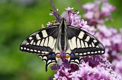 Schwalbenschwanz (Aah-Yeah) Tags: schwalbenschwanz swallowtail papilio machaon schmetterling butterfly tagfalter marquartstein achental chiemgau bayern