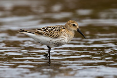 Dunlin (Simon Stobart (back but busy)) Tags: water northeastengland dunlin