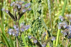 Phacelia tanacetifolia is a species of phacelia known by the common names lacy phacelia, blue tansy or purple tansy. (nonsuchtony) Tags: phacelia tansy flower eels foot inn walk eastbridge leiston sizewell abbey