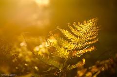 Beautiful decay (- Man from the North -) Tags: softlight eveninglight light naturephotography plant nature outdoor naturallight finland westcoast ostrobothnia forest nikond7000 tamron90mm28macro tamron nikon goldenlight explore explored sunlight