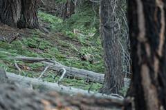 1 of 3 D75_6163 (steve bond Photog) Tags: bear yosemitenationalpark nikon stevebond