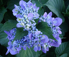 Una piccola ghirlanda (Marythere *on/off*) Tags: ghirlanda hortensia blue purple macro garland ngc