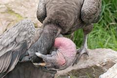 Courting Condors (Deborah S-C -Back in The Fairy Garden) Tags: aug2016 southlakessafarizoo andeancondors maleandfemale courtingritual beautifulbirds largebirds diurnalbirdsofprey