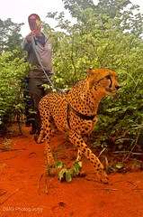 Wildlife in Livingstone (DMG_Photography) Tags: livingstonzambia cheetah wildlife zambia livingston maseru lesotho airport runway livingstone