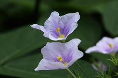 Nierembergia caerulea cv.   (ashitaka-f) Tags: flower purple yellow nierembergia caerulea    solanaceae