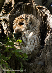 The Parent returns (muppet1970) Tags: tawny tawnyowl mabel oak tree nest christchurchpark ipswich molting feathers nature wildlife