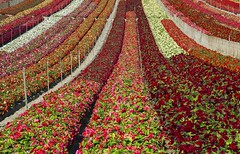 Begonia Flower Farm Makes Candy Stripes of Color (ronc316) Tags: flower farm flowerfarm begoniaflowerfarm rows color multicolor canon 5diii l lense lens california centralcalifornia monterey county crop flowercrop flowers vegetation plants foliage fence sprinklers water candy stripes begonia blooms beautiful colors colorful orange red pink white plant yellow peach harvest sunny