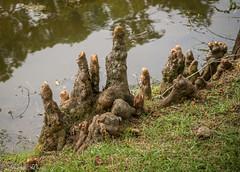 20160830-DSC00749 (Juanita Marks Wood) Tags: brookgreengardens murrellsinlet nmyrtlebeach sc baldcypressknees beachvacation sisters
