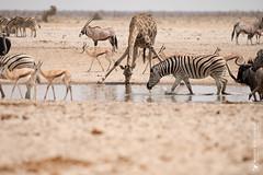 DSC_3531.JPG (manuel.schellenberg) Tags: namibia animal etosha nationalpark giraffe zebra gnu oryx springbock