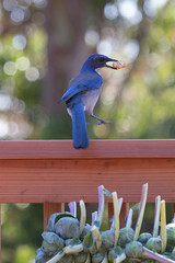 IMG_6286 (armadil) Tags: bird birds jay jays scrubjay scrubjays brusselssprout backyard