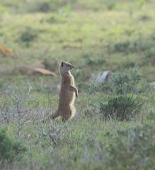 Mangouste (hubertguyon) Tags: afrique du sud south africa addo elephant national park animal mangouste mongoose