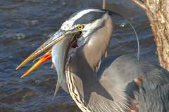 IMG_5871 Great Blue Heron (cmsheehyjr) Tags: cmsheehy colemansheehy nature wildlife bird heron greatblueheron jamesriver floodwall richmond virginia ardeaherodias